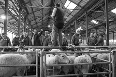 Leek Auctions 23rd Oct-91 (The Rural Eye) Tags: camera food west eye english rural newcastle landscape photography james cow photo spring student october university photographer shropshire sheep cheshire image market sale farm auction district derbyshire traditional farming flock north under archive picture culture photojournalism documentary peak william bull meat professional lee land production british humphrey farmer ba tradition agriculture dairy livestock leek staffordshire herd hughes journalism lyme degree 2012 freelance mart midlands spender llp heifer farmsale ravilious leewilliamhughescom