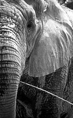 (julianasanc) Tags: blackandwhite bw elephant animal zoo pb mg zoolgico animais pretoebranco bh elefante d90 paquiderme fundaozoobotnicadebelohorizonte