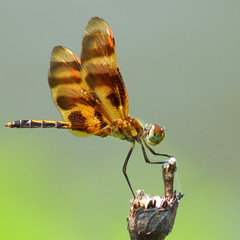 sitting pretty (aokcreation - part-time) Tags: macro nature animal closeup insect dragonfly bokeh wildlife ngc npc naturesfinest halloweenpennant blinkagain sonyslta65v