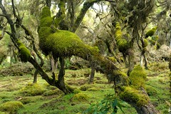 Harena Forest, Bale Mountains, Ethiopia (christophe_cerisier) Tags: africa forest moss ethiopia balemountains harena balemountainsnationalpark balemountainsnp harenaforest
