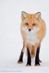 DSC_0159 (Maxime Riendeau) Tags: winter snow canada quebec hiver qubec fox neige redfox renard renardroux maximeriendeau