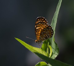 Well Marked (harefoot1066) Tags: lepidoptera papilionoidea nymphalidae nymphalinae melitaeini microtia microtiadymas tinycheckerspot dymasiadymas