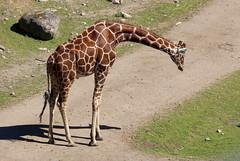 (Claire-L) Tags: animal girafe kolmrden