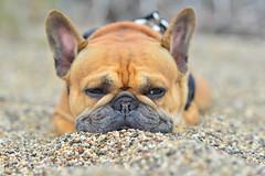 DSC_9867 (art w.) Tags: frenchy frenchbulldog frenchies frenchbulldogs bulldogs bulldog beach nikon beanhollow beanhollowstatebeach