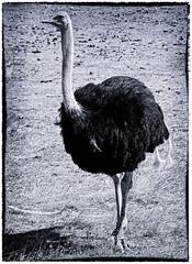 D3296-Avestruz macho (Eduardo Arias Rbanos) Tags: animales animals ave bird avestruz ostrich sigean eduardoarias eduardoariasrbanos zoo reserva fauna nikon d300 macho male