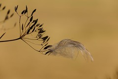 light as a feather (peeteninge) Tags: veertje feather nature natuur outdoor