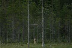 Loup - Wolf - Canis Lupus (Samuel Raison) Tags: wolf loup finlande wildlife finland canislupus nikon wildwolf wilderness animal animauxsauvages nature nikond3 nikon4200400afsgvr nuit night prdateur meute greywolf graywolf loupgris animals