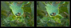 The Great Escape - Parallel 3D (DarkOnus) Tags: pennsylvania buckscounty lumix panasonic dmcfz35 3d stereogram stereography stereo darkonus closeup macro insect popillia japonica mating japanese beetles great escape parallel ttw hyperstereo hyper broken window
