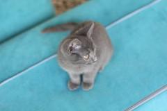 IMG_2497 (murkla_la) Tags: cat russianblue moussie gray graycat