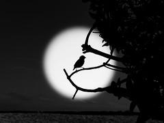 darwin finch (Stephan Harmes) Tags: galapagos ecuador inseln finken darwin charles black white schwarz weis bw sw vignette strand beach meer sea