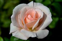 Pale Pink (Eddie C3) Tags: flowers roses rosegarden peggyrockefellerrosegarden newyorkbotanicalgarden