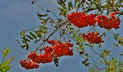 Lijsterbes - Sorbus aucuparia (henkmulder887) Tags: lijsterbes sorbusaucuparia holtingerveld havelte holtinge drenthe havelterberg rood red rot landschap natuur nature natura inexplore explore rowanberries mountainashtrees