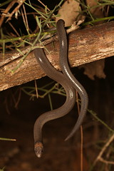 Briaglow Scaly Foot Legless lizard (Mitch Thorburn) Tags: brigalow scaly foot legless lizard westmar qld herping photography
