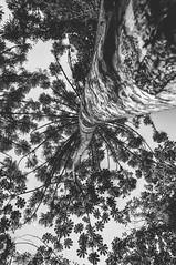 160827_PMN Petronilla Markowicz_025 (Luiz Henrique Foto) Tags: luizhenriquefoto luizhenriquephoto arieareaderelevanteinteresseecologico autoral bw blackandwhite bragana braganapaulista braganapaulistasp coletivosocioambiental coletivosocioambientaldebraganapaulista desenhandoaluz eco ecologia estadodesopaulo fotoexterna fotografiaautoral fotografiadenatureza fotojornalismo luizhenriquefotografia monochrome monocromo monocromtico monotone natureza ong organizaonogovernamental outputphoto pb pnmpetronillamarkowiczbosquedasaraucrias parque parquenaturalpetronillamarkowiczbosquedasaraucrias pretoebranco sp sopaulo sosaulo terceirosetor tomnico unidadedeconservao wwwluizhenriquefotocombr luizhenriquerocharodrigues reaverde arieareaderelevanteinteresseecologico