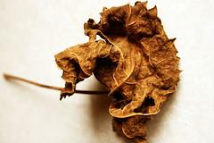 Ninja (sarahellenspringer) Tags: dried leaf brown ninja abstract flora texture shape