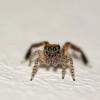 Saltique (Emamoutte.) Tags: spider saltique macro