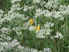 Orange Sulphurs (Paul 49 55) Tags: maryland howardcounty columbia insect butterfly patuxent patuxentbranch orangesulphur sulphur