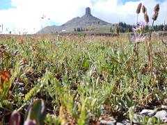 Astragalus shultziorum (with Phleum alpinum, Poa alpina, and Aster sp.) (Matt Lavin) Tags: astragalusshultziorum fabaceae schultzsmilkvetch grandtetonnationalpark wyoming subalpine native perennial matforming herb