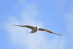 DSC_2716 (PeaTJay) Tags: nikond750 tamron reading lowerearley berkshire outdoors birds birdsofprey gull gulls