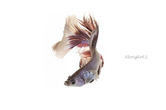 White-Red Siamese fighting fish, betta fish isolated on white background. (Alongkot.S) Tags: action aggressive animal aquarium aquatic background beautiful beauty betta biology breathing color colorful crown domestic dragon dress elegant excite exotic eye fancy fighting fin fire fish flame freshwater hobby hot image isolated luxury motion nature pet pose power red scale siamese space splendors staring swimming tail tropical white zoology