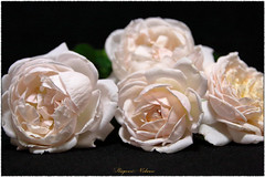 - White gold. (shig.) Tags: white gold whitegold cocker british     rose roses roze rosa flower green nature natural outdoor garden plant plants canon eos 70d