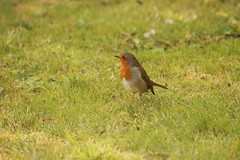 Robin looking for Batman! (jren61) Tags: robin bird scotland nature