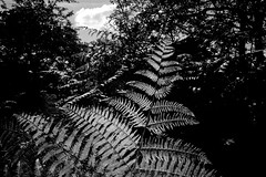 Fern in sunlight 2 (rcalow.photography) Tags: mjuii mju ii rollei retro 400s kodak hc110 olympus stylus epic fern