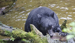 Fish Eye Lens. A Black Bear Diner Sushi Speacial (Pete Foley) Tags: alaska bear salmon bearfishing rainforest nature flickrsbest overtheexcellence