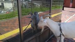 20160825_115907[1] (Lonly Goat) Tags: パルテノン多摩 多摩センター ヤギ 山羊 やぎ reflection 鏡 goat pet 散歩