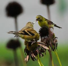American Goldfinch (danstambaugh) Tags: paxtang pa patnc finch goldfinch nature bird birding birdwatching
