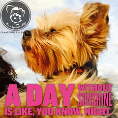 Good thing your Yorkie can show you the way (itsayorkielife) Tags: yorkiememe yorkie yorkshireterrier quote