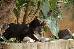 Two inseparable brother (Alexsandra Machado (temporarily offline)) Tags: cat gato kitten kitty preto black cinza grey fluffy cute