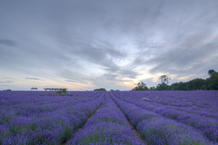 Lavender field (Dave Searl) Tags: flower lavender mayfield surrey