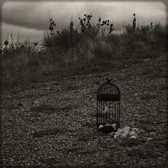 She Dreams of Canary Cries 2 (CSKalinsky) Tags: stilllife birdcage feather escape conceptual darkart bird