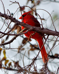 Brilliant Red (Hawkman Photography) Tags: nature birds wildlife cardinals redbirds brilliantred northerncardinalcardinaliscardinalis nikond5100
