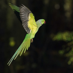 Perruche  Collier, Rose-ringed Parakeet (Zed The Dragon) Tags: wild bird speed jaune collier french geotagged effects photography photo flickr minolta photos bokeh sony main vert full perruche frame parakeet fullframe alpha antony animaux parc postproduction franais sal zed oiseaux francais sceaux lightroom effets parcdesceaux 24x36 roseringed psittacula a850 sonyalpha krameri hpexif parcsceaux dslra850 alpha850 zedthedragon minoltaapo80200hs mosaique2012bz