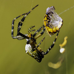 the spider's restraint (Fat Burns) Tags: spider spiderweb orb spidersweb silverorbspider silverorbweaver rememberthatmomentlevel4 rememberthatmomentlevel1 rememberthatmomentlevel2 rememberthatmomentlevel3 rememberthatmomentlevel5 rememberthatmomentlevel6 humpedorbweavingspider