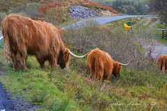 Highland Cattle (EXPLORED) (gmj49) Tags: uk skye scotland cattle cows sony highland isle elgol gmj a350