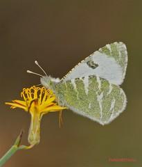 Euchloe belemia grancanariensis ( BlezSP) Tags: female butterfly lepidoptera mariposa pieridae euchloe belemia papilonoidea grancanariensis euchloebelemiagrancanariensis
