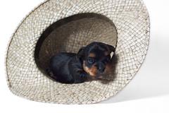 Puppy (SayLuiiiis) Tags: dog canon puppy yorkshire flash perro cachorro sombrero hay 50d strobist