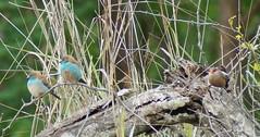Blue Waxbill and Common Waxbill (tim ellis) Tags: holiday bird southafrica kruger commonwaxbill estrildaastrild waxbill sabisands bluewaxbill uraeginthusangolensis bluebreastedcordonbleu justcats sabisandsgamereserve nkorhobushlodge sthelenawaxbill