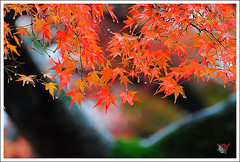 20121126_6570a_ (Redhat/) Tags: autumn fall japan temple maple kyoto redhat              sinnyodo