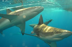 Galapagos Sharks, North Shore (clear_eyed_man) Tags: travel hawaii northshore galapagosshark dx1g