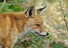 Female red fox (Wouter's Wildlife Photography) Tags: nature mammal wildlife ngc npc vixen vos redfox vulpesvulpes westduinpark mygearandme mygearandmepremium mygearandmebronze mygearandmesilver