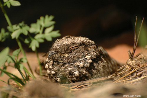 Photo - Common Poorwill