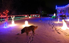 Making Tracks In The Snow (rcvernors) Tags: winter dog pet snow cold night december christmaslights christmasdecorations pepsi largedog rcvernors shepbernard rickchilders makingtracksinthesnow