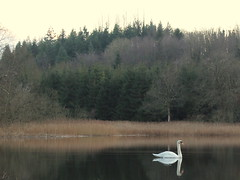 Stillness (eddieELM) Tags: life christmas trees ireland winter irish lake reflection tree green nature water beautiful forest canon woodland reflections eos still swan naturallight calm lone sitka 2012 ulster monaghan hiltonpark 600d irishforest irishlight scotshouse canoneos600d
