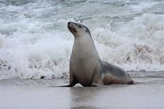 Ahhhh!  Feeling good (ejhrap) Tags: sea beach sand australian lion australia kangarooisland pinniped cinerea neophoca
