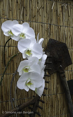 """Row of white orchids • <a style=""""font-size:0.8em;"""" href=""""http://www.flickr.com/photos/44019124@N04/8309913011/"""" target=""""_blank"""">View on Flickr</a>"""