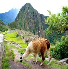 Llama grazing above Machu Picchu